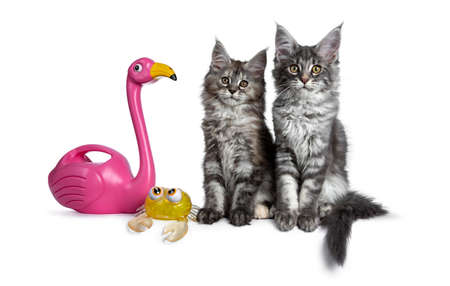 Duo or two cute blue tabby and tortie Maine Coon cat kittens sitting beside each other facing front. Looking at camera. Isolated on white background. Beside them a pink flamingo and a yellow crab.