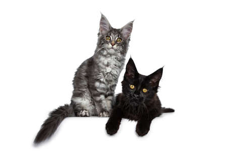 Duo or two cute blue tabby and solid black Maine Coon cat kittens sitting  laying beside each other facing front. Looking at camera. Isolated on white background.