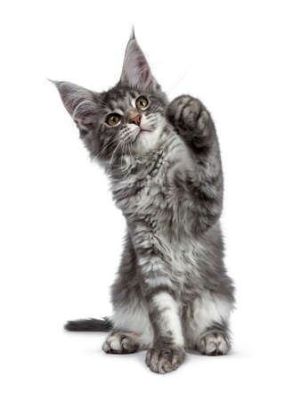 Very cute blue tabby Maine Coon cat kitten, sitting facing front. Looking up with pretty yellow and green eyes. Isolated on white background. Paw is lifted in air for playing.