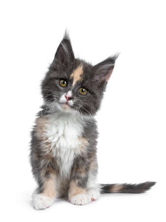 Cute tortie bicolor Maine Coon cat kitten, sitting up facing front. Looking straight ahead at camera with brown  green eyes. Isolated on white background. Head slightly tilted. Stock Photo
