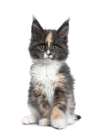 Cute tortie bicolor Maine Coon cat kitten, sitting up facing front. Looking straight ahead at camera with brown  green eyes. Isolated on white background.