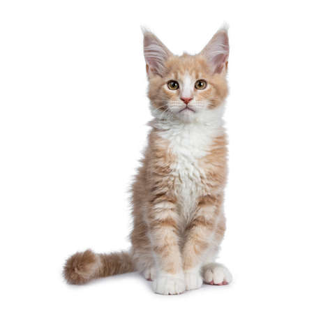 Bold cute creme with white Maine Coon cat kitten sitting straight up facing front. Looking at camera with brown curious eyes. Isolated on white backround. Tail curled around body.