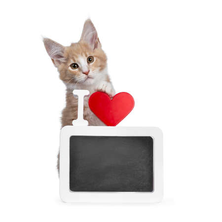 Bold cute creme with white coon cat kitten standing behind framed chalkboard with red heart. Looking straight at camera with brown curious eyes. Isolated on white backround.