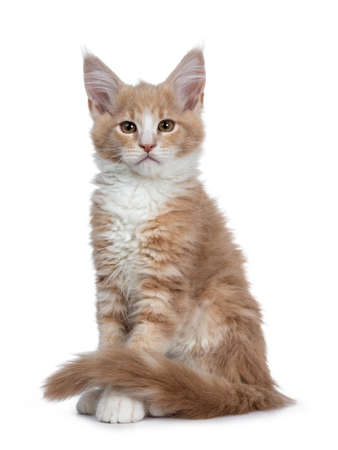 Bold cute creme with white Maine Coon cat sitting kitten hlf side ways facing front. Looking at camera with brown curious eyes. Isolated on white backround. Tail curled around front paws.