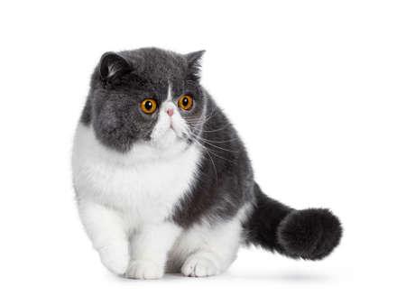 Blau mit weißer junger Exotic Shorthair Katze, stehend / gehend nach vorne. Blick zur Seite mit erstaunlichen runden orangefarbenen Augen. Isoliert auf weißem Hintergrund. Eine Pfote in der Luft.