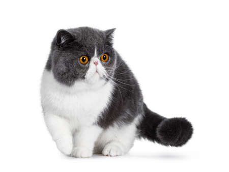 Blue with white young Exotic Shorthair cat, standing  walking facing front. Looking to the side with amazing round orange eyes. Isolated on white background. One paw in air.
