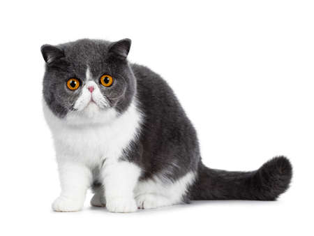 Cute blue with white young Exotic Shorthair cat, sitting side ways. Looking curious straight into a lens with amazing round orange eyes. Isolated on white background. Tail behind body. Stockfoto