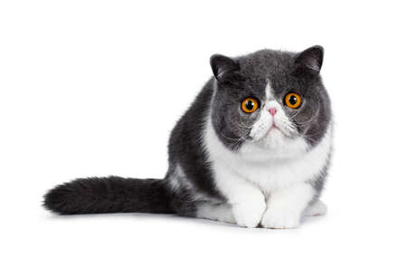 Cute blue with white young Exotic Shorthair cat, sitting facing front, head low and paw in air. Looking straight into the lens with amazing round orange eyes. Isolated on white background.