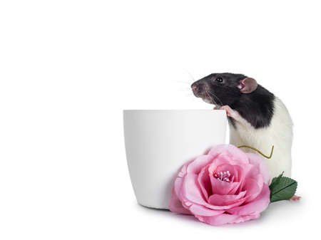 Cute dumbo rat, sitting side ways beside an empty flower pot and behind a fake pink rose. Paws on edge of the pot. Looking straight ahead with shiny eyes. Isolated on white background.