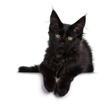 Cute solid black Maine Coon cat kitten, laying down. Looking beside lens with golden yellow eyes. Isolated on white background. Paws hanging over edge.