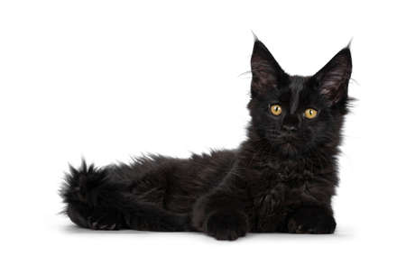 Cute solid black Maine Coon cat kitten, laying down side ways. Looking beside lens with golden yellow eyes. Isolated on white background.