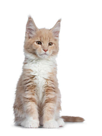 Cute cream with white Maine Coon cat kitten, sitting straight up facing front. Looking cheeky straight ahead beside lens with brown eyes. Isolated on a white background.