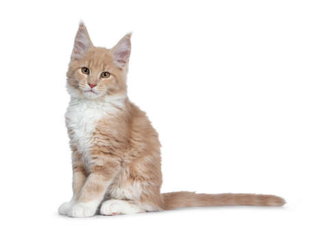 Cute cream with white Maine Coon cat kitten, sitting side ways. Cheeky looking straight at lens with brown eyes. Isolated on a white background. Tail behind body. Banco de Imagens - 120032817