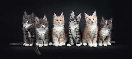 Rij van zes veelkleurige Maine Coon-kattenkatjes die in perfecte lijn zitten. Allemaal kijkend naar de camera. Geïsoleerd op zwarte achtergrond. Stockfoto