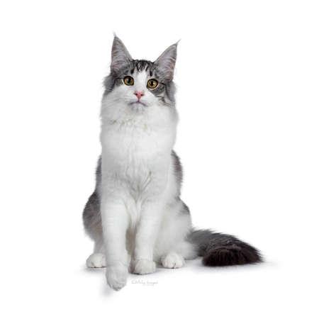 Süßes, schwarz-silbernes, zweifarbig geflecktes Norwegisches Waldkatzenkätzchen, das nach vorne sitzt. Blick in die Kamera mit grünen / gelben Augen. Isoliert auf weißem Hintergrund. Schwanz neben dem Körper. Standard-Bild