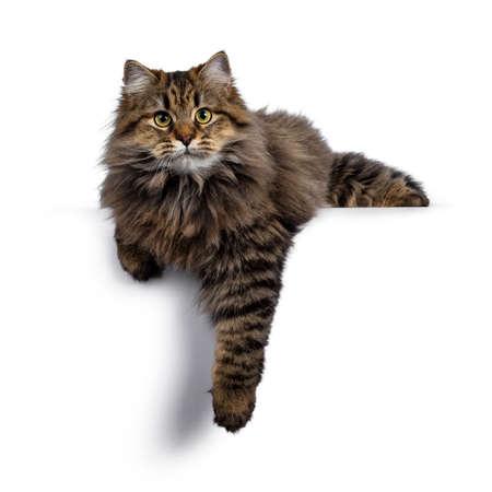 Nettes, freundliches, klassisches sibirisches Katzenkätzchen mit tollem Fell, das mit der Pfote vom Rand herunterhängt. Mit großen gelben Augen neugierig in die Kamera schauen. Isoliert auf weißem Hintergrund. Standard-Bild