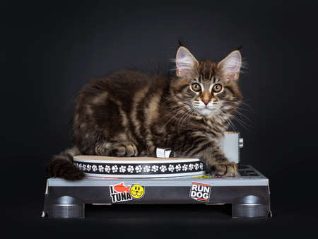 Cute classic black tabby Maine Coon kitten laying side ways on carton record player. Looking straight at lens with brown eyes. Isolated on black background.
