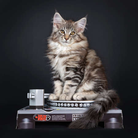 Cute tabby Maine Coon kitten sitting side ways on carton record player. Looking straight at lens with brown eyes. Isolated o