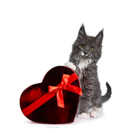 Lovely cute blue with white markings Maine Coon cat kitten, sitting beside a red shiny heart. Looking at lens with alert brown eyes. Isolated on white background.