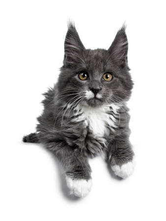 Lovely cute blue with white Maine Coon cat kitten laying down with paws over edge. Looking at lense with alert brown eyes. Isolated on white background.