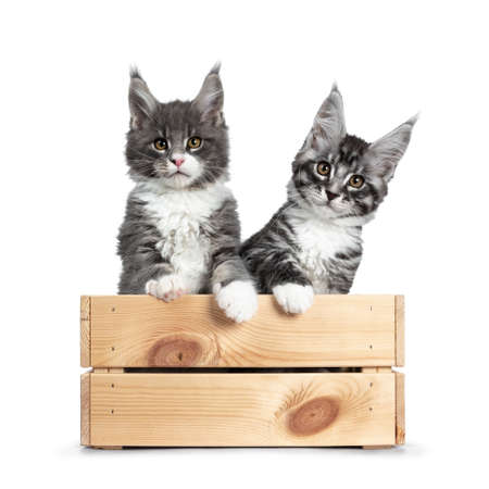 Cute blue with white and silver black tabby Maine Coon cat kitten sitting in a light wooden crate. Looking at camera with brown eyes. Isolated on white background. Paws over edge. Stock Photo