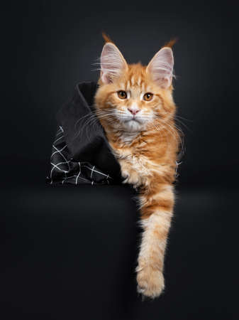 Cute fluffy red tabby Maine Coon cat kitten laying in black paper bag. Looking straight at camera with orange eyes. Isolated on black background. Paw hanging down.