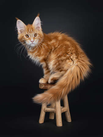Cute fluffy red tabby Maine Coon cat kitten, standing side ways / making pirouette on little wooden stool. Looking beside camera with orange eyes. Isolated on black background. Tail hanging down.