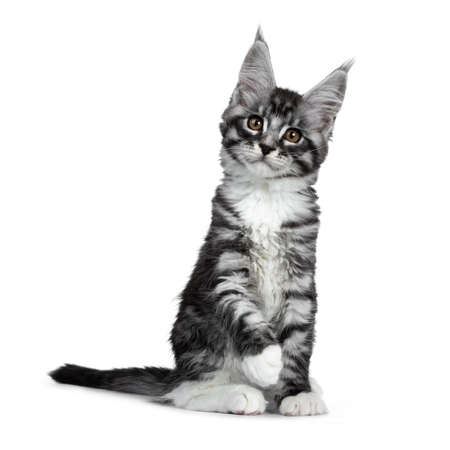 Cute black silver tabby Maine Coon cat kitten, sitting straigth up. Looking at camera with brown eyes. Isolated on white background.Paw in air. 版權商用圖片