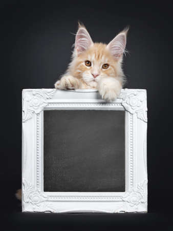 Handsome silver red Maine Coon cat kitten, sitting behind with blackboard filled frame. Looking at lens with orange / brown eyes. Isolated on black background. Front paws on frame. 写真素材