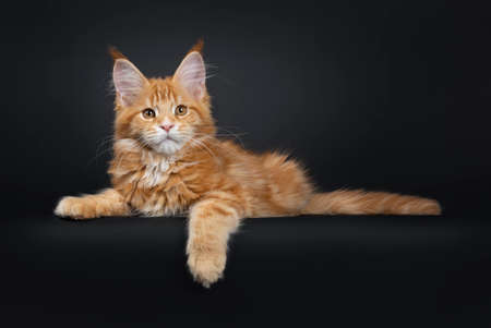 Handsome young Maine Coon cat laying down side ways. Looking beside camera with orange brown eyes. Isolated on a black background. One paw hanging down from edge and tail stretched behind body.