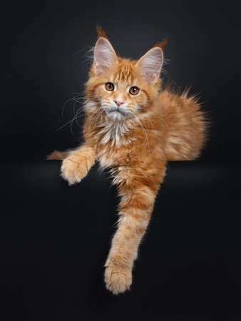 Majestic red Maine Coon cat kitten laying down facing front. Looking towards camera with brown yellow eyes. Isolated on black background. Paws hanging down from edge. Reklamní fotografie