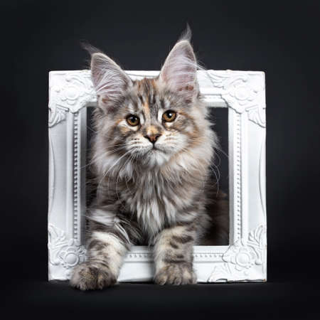 Excellent silver tortie Maine Coon cat kitten, standing / sitting throught white photo frame. Looking towards camera with brown eyes. Isolated on a black background. 版權商用圖片