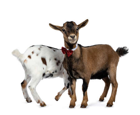 Funny brown pygmy goat wearing a white collar and red / black checkered bow tie, standing side ways. Looking at camera. Isolated on white background. Another goat behind like sharing one head / face.