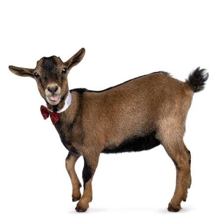 Divertida cabra pigmea marrón que lleva un cuello blanco y una pajarita a cuadros roja / negra, de pie hacia los lados. Mirando a la cámara. Aislado sobre fondo blanco.