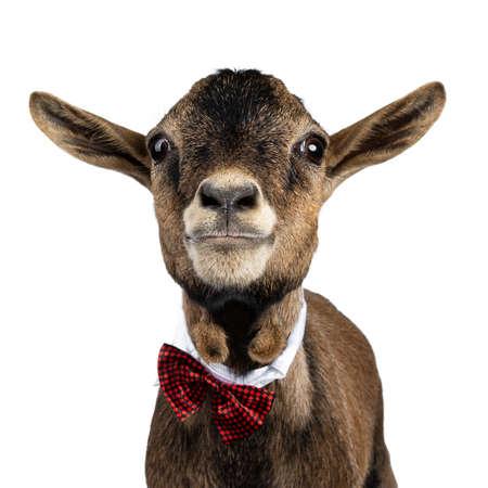 Coup de tête d'une drôle de chèvre pygmée brune portant un collier blanc et un nœud papillon à carreaux rouges/noirs. En regardant directement la caméra. Isolé sur fond blanc.