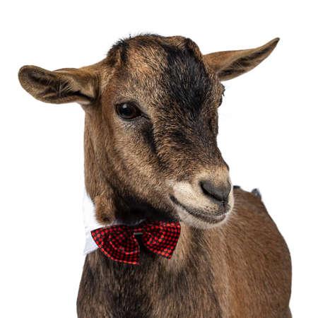 Coup de tête d'une drôle de chèvre pygmée brune portant un collier blanc et un nœud papillon à carreaux rouges/noirs. Regarder en bas. Isolé sur fond blanc. Banque d'images