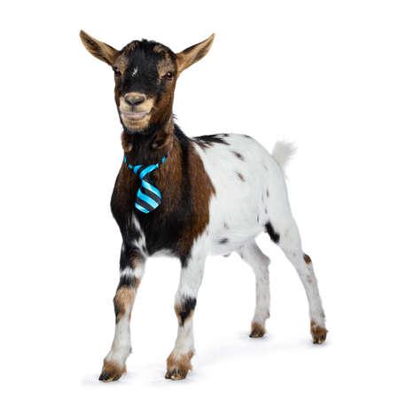 Chèvre naine tachetée drôle portant une cravate rayée bleue et noire, debout sur le côté. En regardant l'objectif. Isolé sur fond blanc. Banque d'images
