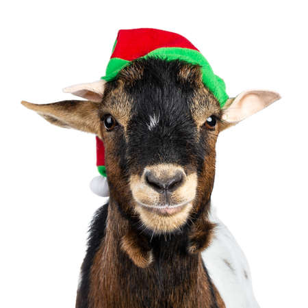 Head shot of funny brown pygmy goat wearing a red and green elf hat. Looking straight at camera. Isolated on white background. Stok Fotoğraf
