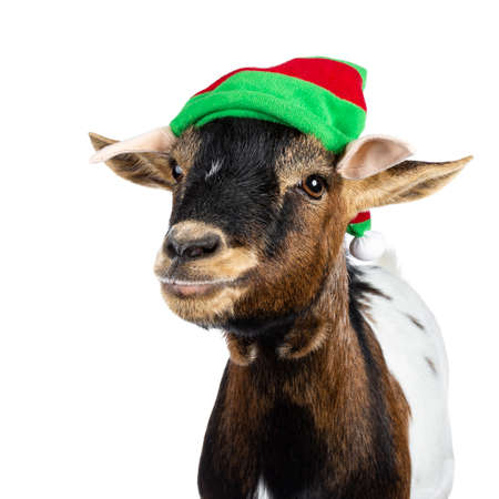 Head shot of funny brown pygmy goat wearing a red and green elf hat. Looking straight at camera side ways. Isolated on white background. Stok Fotoğraf