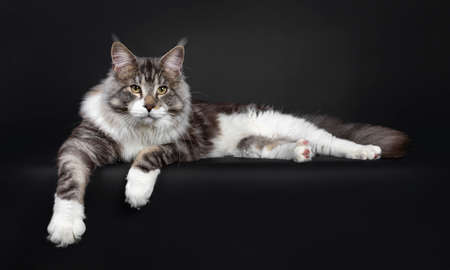 Handsome Maine Coon cat, laying down  flat side ways, looking majestic beside camera. Isolated on black background.
