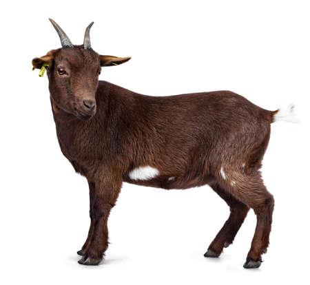 Jolie chèvre pygmée brun foncé, debout sur le côté. En regardant à côté de la caméra avec la tête tournée. Isolé sur fond blanc.