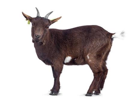 Jolie chèvre pygmée brun foncé, debout à l'envers / latéralement. À la recherche de la caméra. Isolé sur fond blanc. Banque d'images