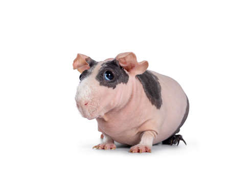 Cute pink with black spotted skinny pig, sitting  standing side ways. Head up. Looking at lens with big eyes and floppy ears. Isolated on white background. White hair on nose and front legs.