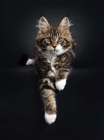 Cute black tabby with white Maine Coon cat kitten, laying down with paws hanging over edge. Looking at camera with orange / brown eyes. Isolated on black background. 免版税图像