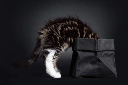 Cute black tabby with white Maine Coon cat kitten, standing side ways. with head in black paper bag. Isolated on black background.