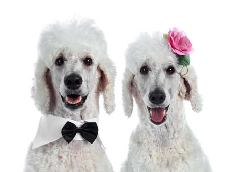 Head shot of cute adult white King Poodle, sitting up looking towards camera. Isolated on white background. One wearing a black with white tuxedo collar / bow tie, the other one a pink rose.
