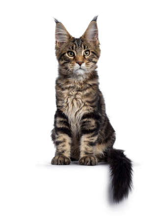 Handsome black tabby Maine Coon cat kitten, sitting facing camera. Looking beside camera with with green /brown eyes. Isolated on white background. Tail curled around body hanging over edge.