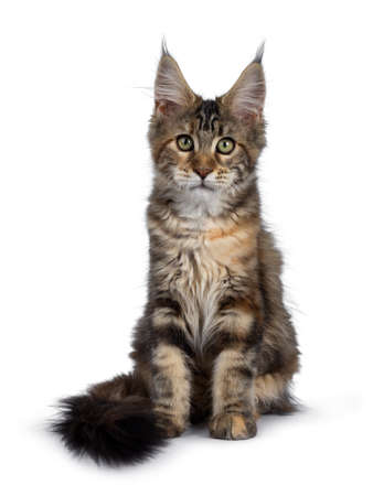 Cute tortie Maine Coon cat kitten sitting facing front. Looking at lens with mesmerizing green eyes. Isolated on white background. Tail around body. Stockfoto