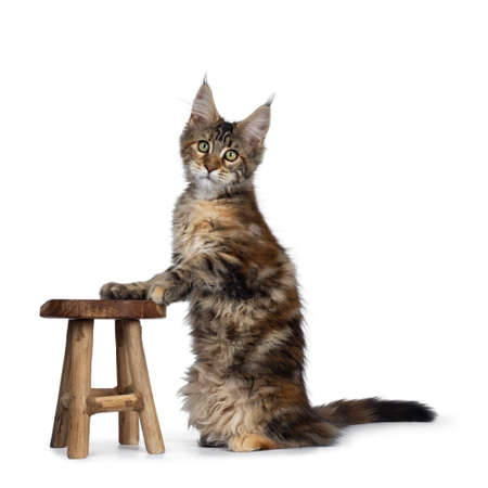 Cute tortie Maine Coon cat kitten sitting up side ways with front paws on wooden chair. Looking at lens with mesmerizing green eyes. Isolated on white background. Tail behind body. Stockfoto