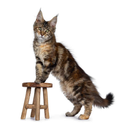 Cute tortie Maine Coon cat kitten standing up side ways with front paws on wooden chair. Looking at lens with mesmerizing green eyes. Isolated on white background. Tail behind body.